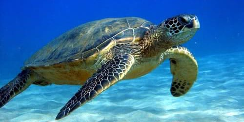 морская черепаха во сне
