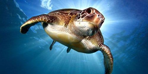 морская черепаха плавает