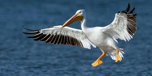 летящий пеликан во сне