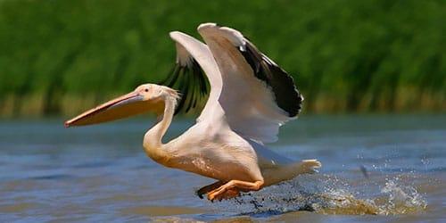 к чему снится пеликан