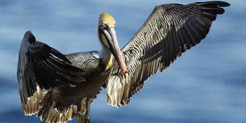 видеть пеликана