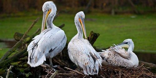 пеликан сидящий на гнезде