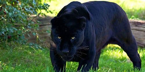 черная пума