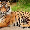 тигрица во сне