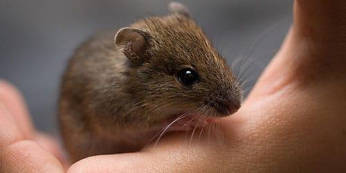 убить мышь во сне