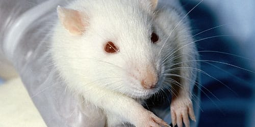 убить белую мышь