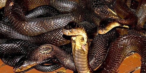 черная змея в доме во сне