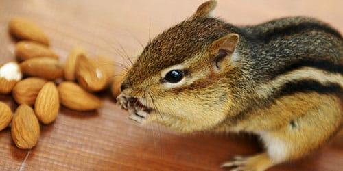бурундук грызет орешки