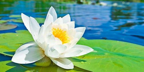 видеть цветок лотоса во сне