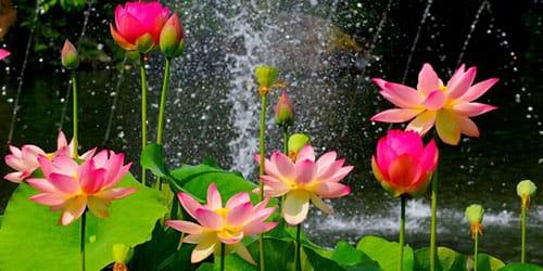 пруд заросший цветами