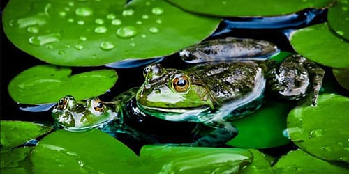 лягушка в воде во сне