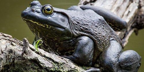 квакающая жаба