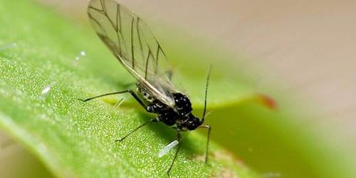 надоедливое насекомое