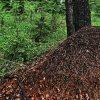 огромный муравейник в лесу