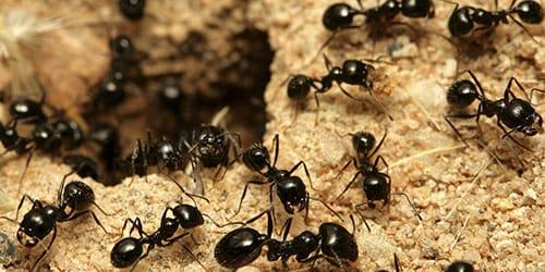 избавиться от муравейника