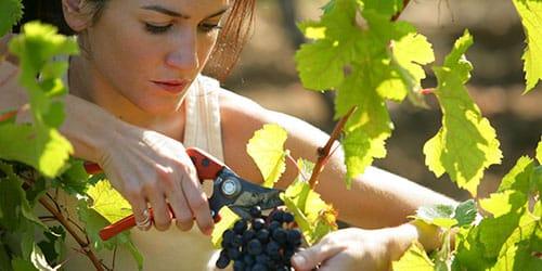 срезать грозди с лозы