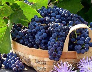 Собирать виноград