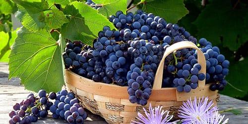 собирать черный виноград