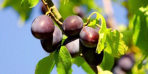 собирать спелые сливы с дерева