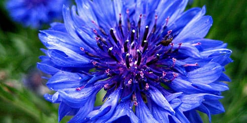 голубой василек во сне