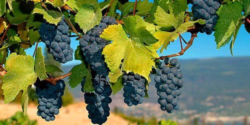 виноградная лоза во сне