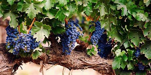 к чему снится виноградная лоза