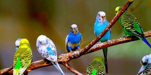 много волнистых попугаев