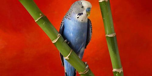 к чему снится маленький волнистый попугай