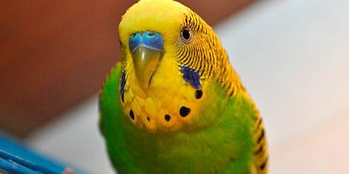 приснился волнистый попугайчик