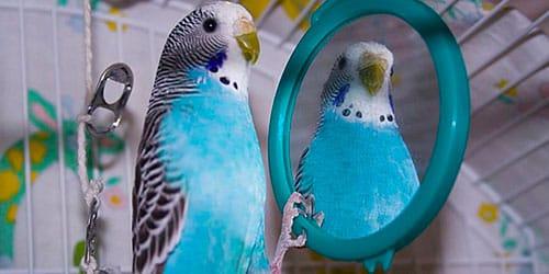 волнистый попугай разговаривает