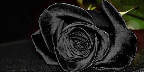 видеть черную розу во сне