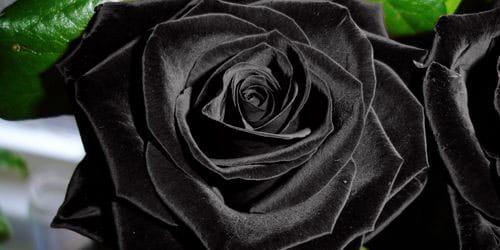 необычная роза