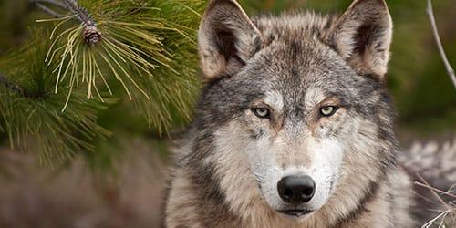 добрый волк во сне