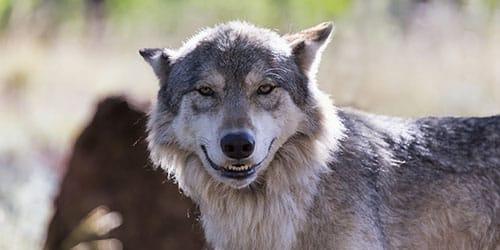 к чему снится добрый волк