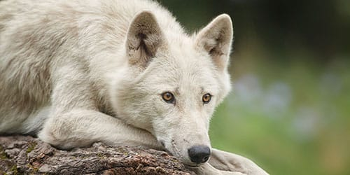 видеть белого доброго волка
