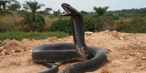 черная кобра во сне