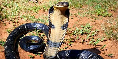 кобра нападает
