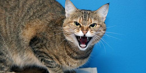 агрессивная кошка