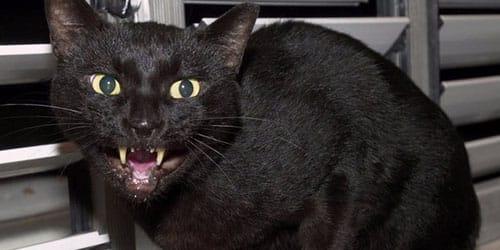 черная кошка нападает