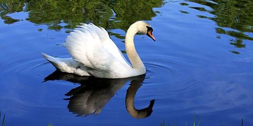 к чему снится лебедь на воде