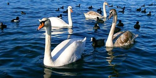 лебеди плавают по воде