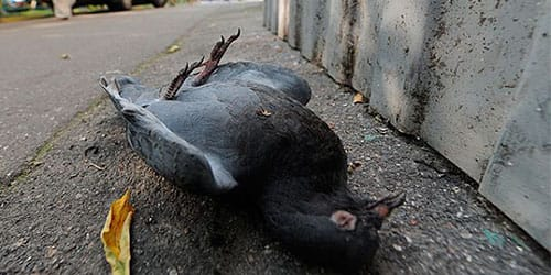 черный мертвый голубь