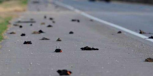 много мертвых голубей