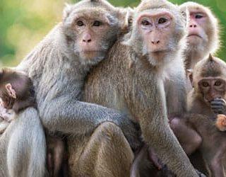 Много обезьян