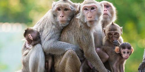 наблюдать за обезьянами