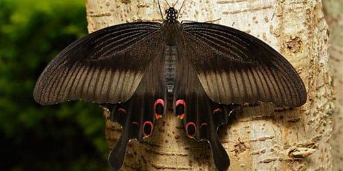 черный мотылек