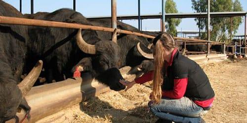 стадо быков для женщины