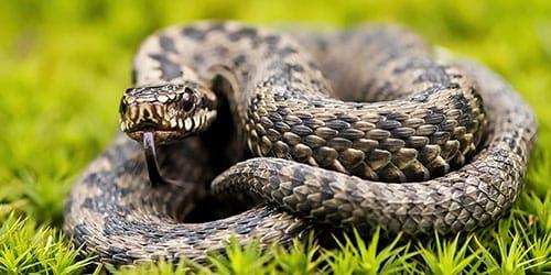 поймать ядовитую змею