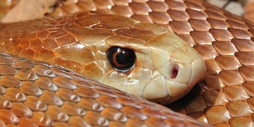 к чему снится ядовитая змея