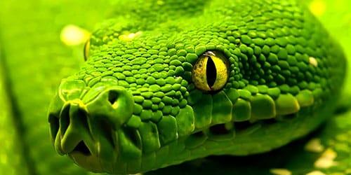 зеленая змея во сне